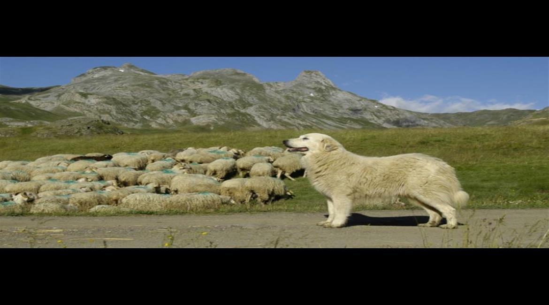 CONSEIL : Les bons comportements face aux chiens de protection des troupeaux
