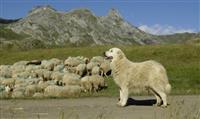 Comment se comporter face aux chiens de protection des troupeaux